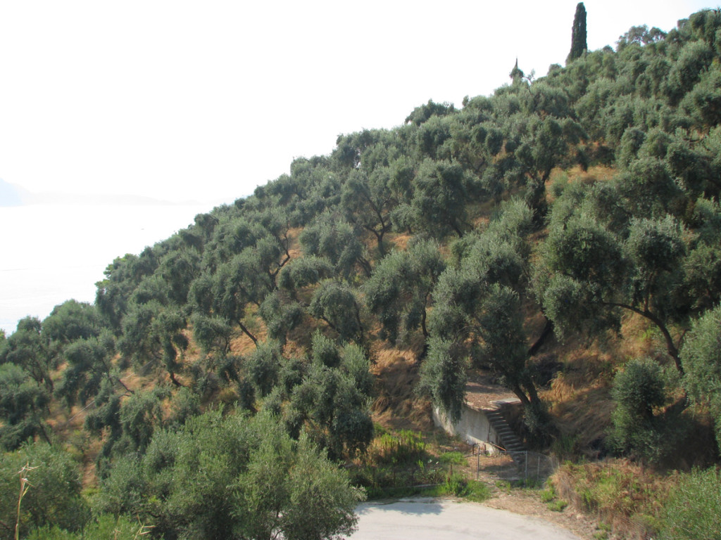 Olive trees on the road to Lichnos beach
